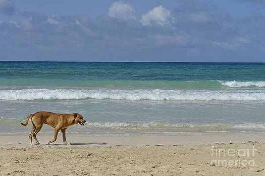 Lonely dog wandering on beach by Sami Sarkis