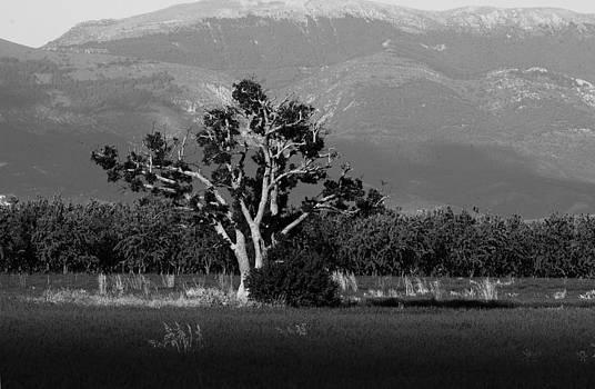 Alex Sukonkin - Lonely tree in a lavender field BW