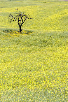 Lonely Tree In Yellow Field by Sarit Saliman