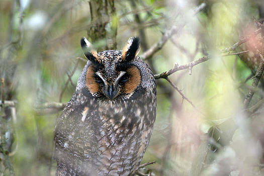 Long-eared Owl 2 by Ed Nicholles