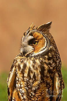 Art Wolfe - Long-eared Owl Asio Otus