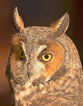 Long-eared Owl by Nancy Landry