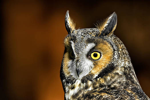 Long-eared Owl Portrait by Christopher Ciccone