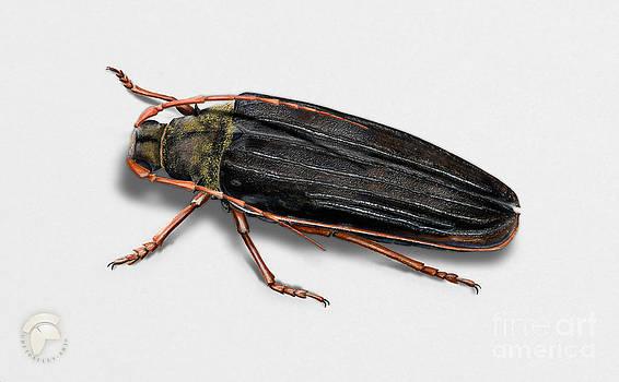 Long-horned beetle Tragosoma depsarium - Zottenbock - Meroscelisini - Gammelskogbukk - Raggbock  by Urft Valley Art