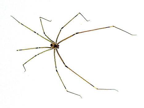 Marc Philippe Joly - long-legged spider