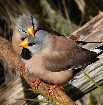 Margaret Saheed - Long-tailed Finch Friends