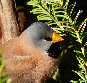 Margaret Saheed - Long-tailed Finch