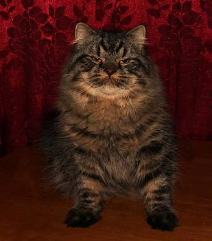 Longhair Scottish Fold by Robert Morin