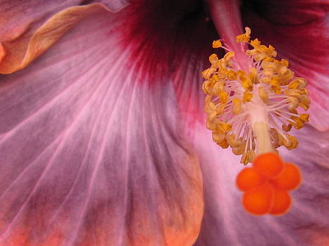 Longwood Hibiscus by Teresita Abad Doebley
