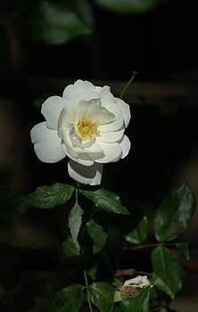 Lonley White Rose by Thomas D McManus