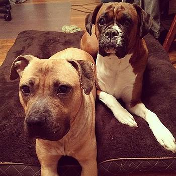 Look At All My Bitches! #boxer #mutt by Samantha Rash