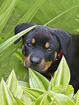 Heiko Koehrer-Wagner - Rottweiler Puppy