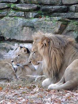 Lookee Lions by Amanda Eberly-Kudamik