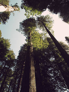 Roberta Hayes - Looking Up at the Redwoods