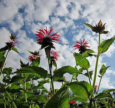 MTBobbins Photography - Looking Up Bee Balm