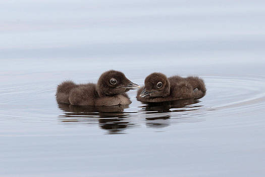 Loon Chicks Wiggles and Waggles by John Rockwood