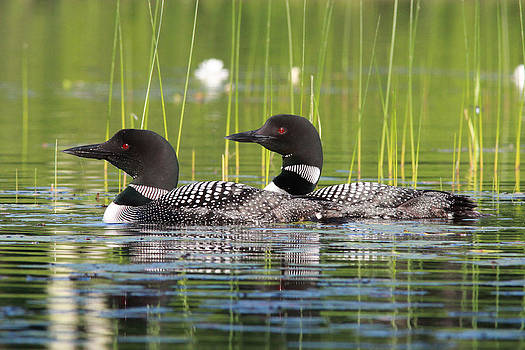 Loon Pair by John Rockwood