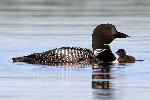 Loon with chick #1 by John Rockwood