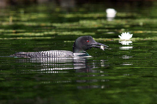 Loon with fish #4 by John Rockwood