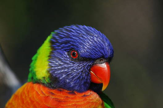 Lorikeet 3 by Colleen Renshaw