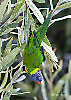 Lorikeet by David Benson
