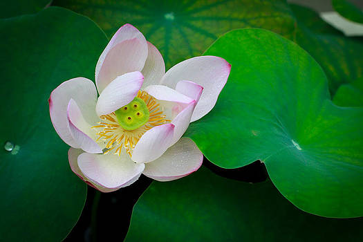 Lotus 2 Singapore Flower by Donald Chen