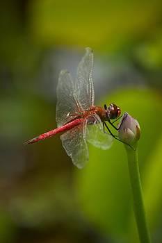 Lotus and Dragonfly by Bonita Hensley