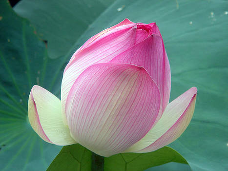 Lotus Becoming by Doveen Schecter