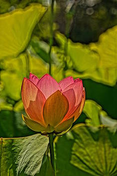 Lotus Bloom by Julie Grandfield