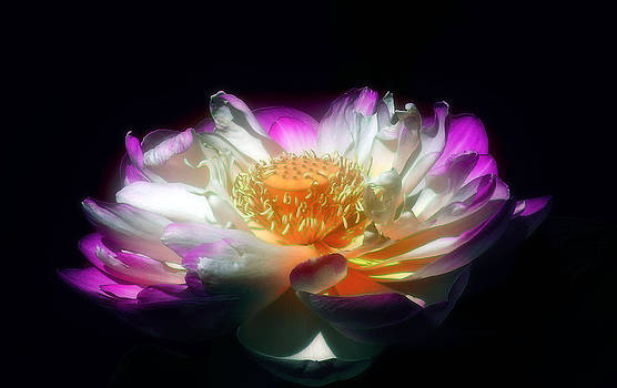 Lotus Blossom by William Horden