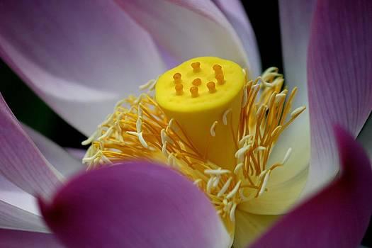 Lotus Dream by Bonita Hensley