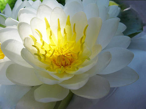 Lotus by Etti PALITZ
