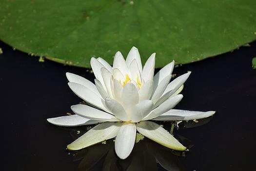 Lotus Flower by Jean Goodwin Brooks