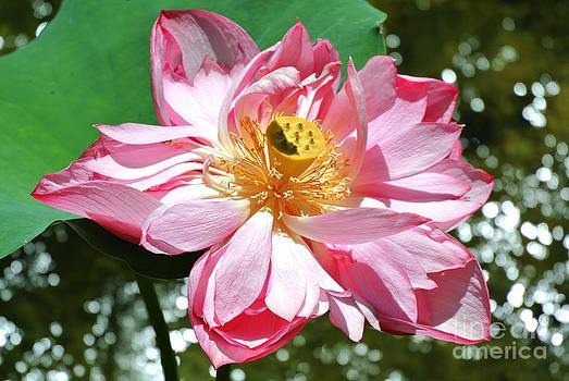 Lotus Flower by Sarah Christian