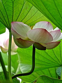 Larry Knipfing - Lotus Heaven - 1