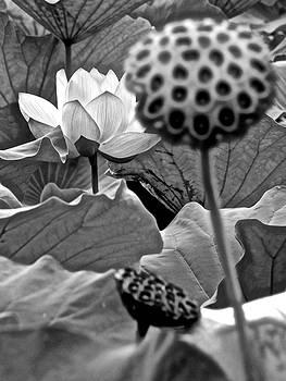 Lotus Heaven - 100 by Larry Knipfing