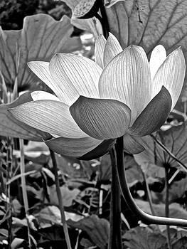 Lotus Heaven - 103 by Larry Knipfing