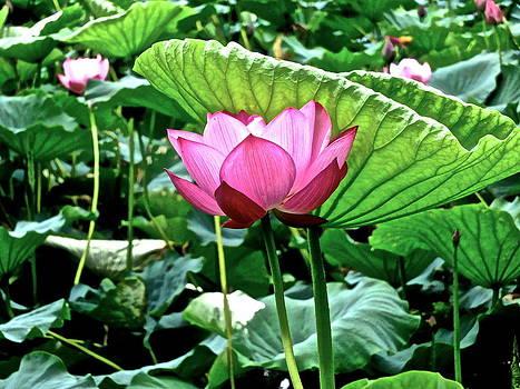 Larry Knipfing - Lotus Heaven - 113