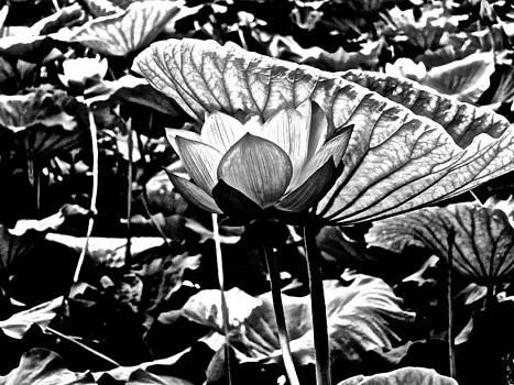 Lotus Heaven - 115 by Larry Knipfing