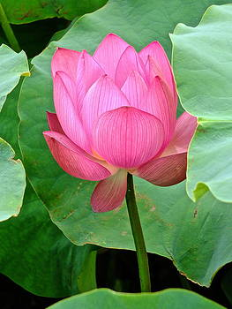 Larry Knipfing - Lotus Heaven - 4