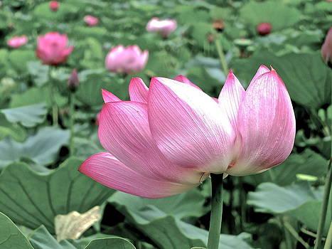 Larry Knipfing - Lotus Heaven - 40