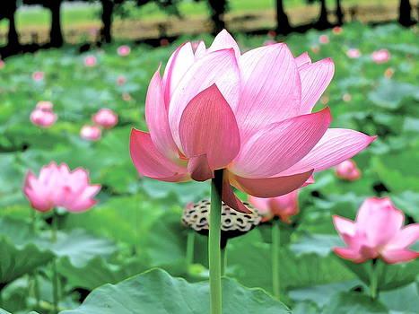 Lotus Heaven - 88 by Larry Knipfing