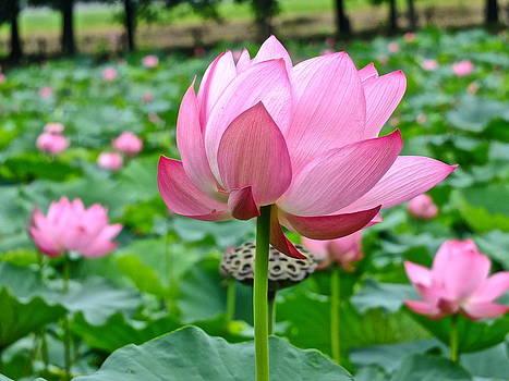 Lotus Heaven - 90 by Larry Knipfing