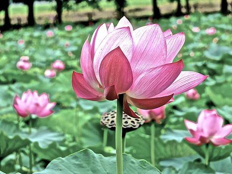 Lotus Heaven - 93 by Larry Knipfing