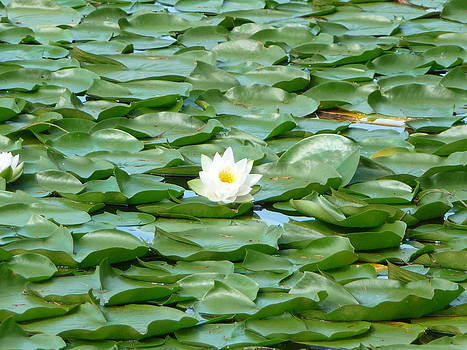 Lotus in a Sea of Lily pads by Shakti Chionis
