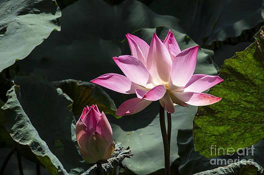 Pravine Chester - Lotus in Bloom