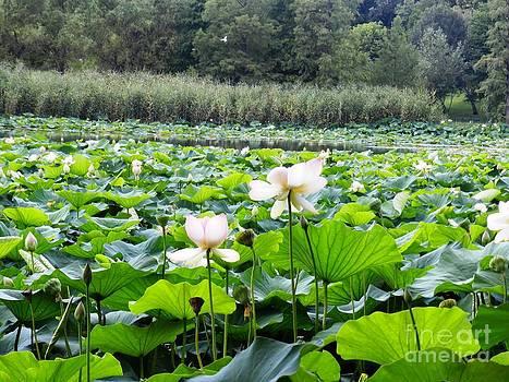 Lotus lake by Olga R