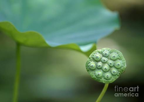 Sabrina L Ryan - Lotus Leaf and a Seed Pod