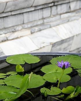 Lotus by Marigan O'Malley-Posada