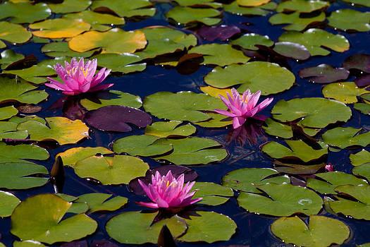 John Daly - Lotus Pads